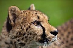Jachtluipaard (jubatus Acinonyx) Stock Afbeeldingen