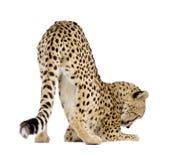 Jachtluipaard - jubatus Acinonyx royalty-vrije stock afbeeldingen
