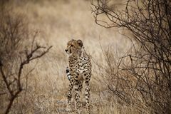 Jachtluipaard in Kenia (Acinonyx Jubatus) Royalty-vrije Stock Foto's