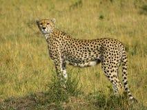 Jachtluipaard in Maasai Mara Royalty-vrije Stock Afbeelding
