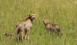 Jachtluipaard in Maasai Mara, Kenia Royalty-vrije Stock Foto