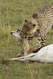 Jachtluipaard in Masai Mara Stock Foto