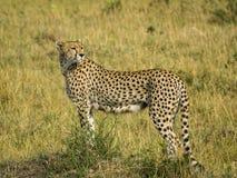 Jachtluipaard in Masai Mara Stock Afbeelding