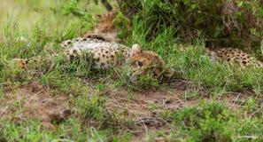 Jachtluipaard met welp in Masai Mara stock afbeeldingen