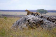 Jachtluipaard met welp in Serengeti royalty-vrije stock foto's