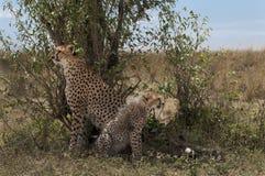 Jachtluipaard met welpen in Masai Mara Royalty-vrije Stock Afbeeldingen