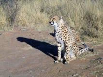 Jachtluipaard in Namibië Stock Afbeelding