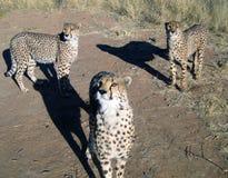 Jachtluipaard in Namibië Stock Foto