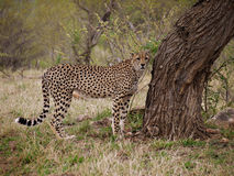 Jachtluipaard in Nationaal Park Kruger Royalty-vrije Stock Foto