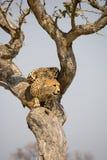 Jachtluipaard omhoog een boom in Afrika Royalty-vrije Stock Afbeeldingen