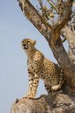 Jachtluipaard omhoog een boom in Afrika Stock Afbeelding