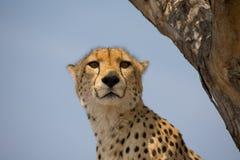 Jachtluipaard omhoog een boom in Afrika Royalty-vrije Stock Afbeelding