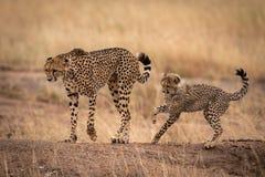 Jachtluipaard op aardebank door welp wordt gevolgd die stock afbeeldingen