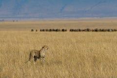 Jachtluipaard op Afrikaanse vlaktes Stock Foto