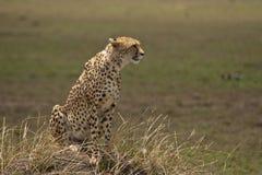 Jachtluipaard op de blik uit, Kenia Royalty-vrije Stock Foto's