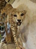 jachtluipaard op de muur royalty-vrije stock foto's
