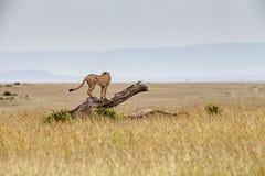 Jachtluipaard op een Gevallen Boom Royalty-vrije Stock Afbeeldingen