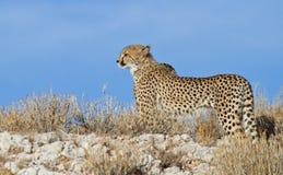 Jachtluipaard op een rand in de Kalahari Stock Foto's