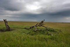 Jachtluipaard op een tak in Masai Mara Park befote het onweer royalty-vrije stock foto