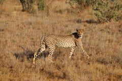 Jachtluipaard op jacht in een droge savanne stock afbeelding