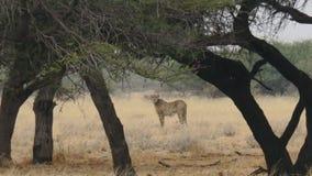 Jachtluipaard status, die terug publiek bekijken Stock Foto's