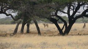 Jachtluipaard twee in weide wordt gevangen - Centrale het Spelreserve van Kalahari, Botswana dat Royalty-vrije Stock Foto's