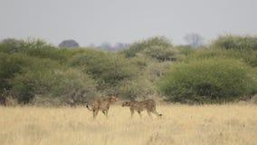 Jachtluipaard twee in weide wordt gevangen - Centrale het Spelreserve van Kalahari, Botswana dat Stock Fotografie