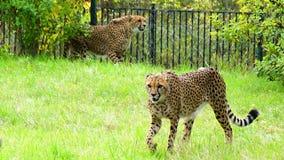 Jachtluipaard, vriendschappelijke dieren bij de Dierentuin van Praag Royalty-vrije Stock Afbeeldingen