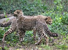 Jachtluipaard youngs royalty-vrije stock foto
