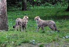 Jachtluipaard youngs royalty-vrije stock afbeelding