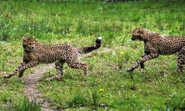 Jachtluipaard youngs stock foto's