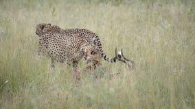 Jachtluipaard zijn verse vangst, een impala stock videobeelden