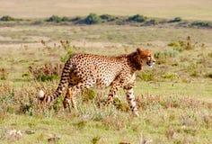 Jachtluipaard 2, Zuid-Afrika royalty-vrije stock afbeeldingen