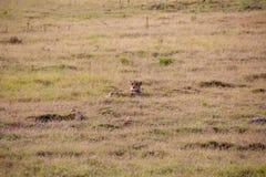 Jachtluipaard 1, Zuid-Afrika stock foto's