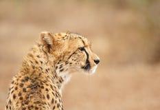 Jachtluipaard in Zuid-Afrika royalty-vrije stock foto