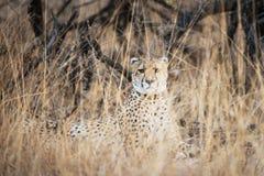 Jachtluipaard in Zuid-Afrika Royalty-vrije Stock Afbeeldingen