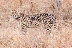 Jachtluipaard, Zuid-Afrika Stock Foto