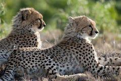 Jachtluipaardbroers Royalty-vrije Stock Afbeeldingen