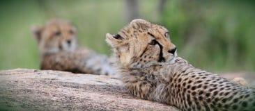 Jachtluipaardbroers Royalty-vrije Stock Afbeelding