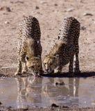 Jachtluipaarden Stock Foto