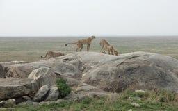 Jachtluipaarden in Afrika Stock Afbeeldingen