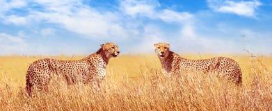 Jachtluipaarden in de Afrikaanse savanne Afrika, Tanzania, het Nationale Park van Serengeti Bannerontwerp stock foto's