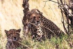 Jachtluipaarden dichtbij de boom Stock Afbeeldingen