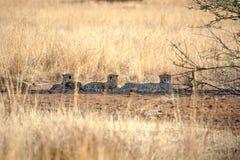 Jachtluipaarden die in de schaduw in het Nationale Park van Pilanesberg liggen royalty-vrije stock foto's