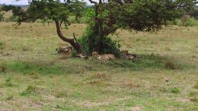 Jachtluipaarden die onder boom in savanne in Afrika liggen stock footage