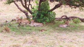 Jachtluipaarden die onder boom in savanne in Afrika liggen stock videobeelden