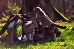 Jachtluipaarden in LongLeat Royalty-vrije Stock Foto