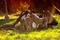 Jachtluipaarden in LongLeat Royalty-vrije Stock Afbeelding