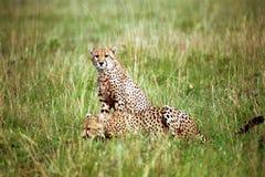 Jachtluipaarden, Maasai Mara Game Reserve, Kenia Royalty-vrije Stock Fotografie