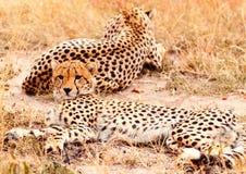 Jachtluipaarden in Masai Mara Royalty-vrije Stock Foto